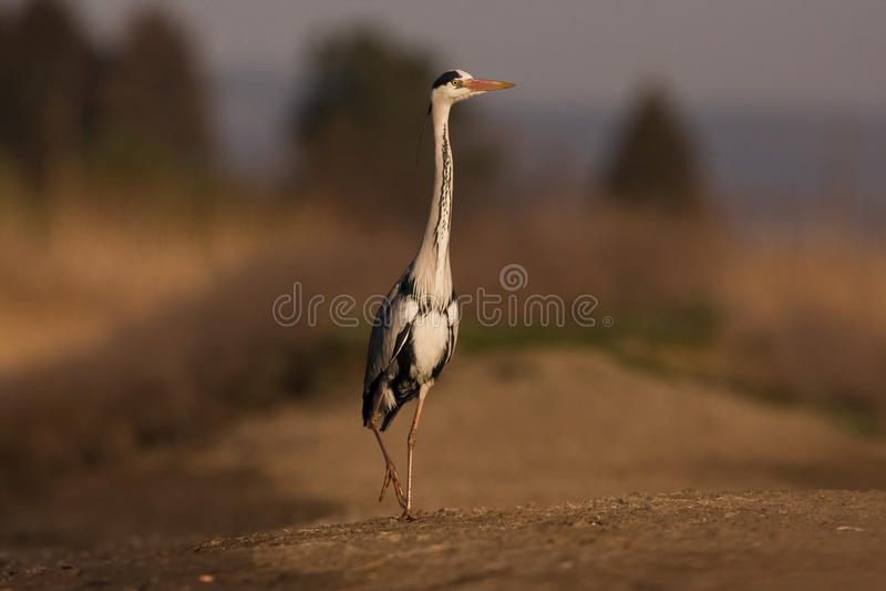 Grey Heron à la banque images libres de droits
