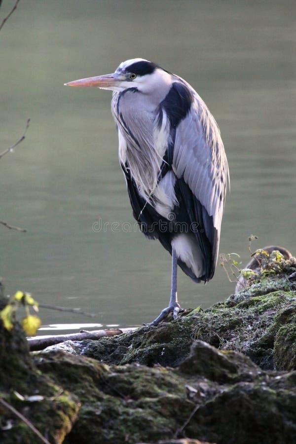 Free Grey Heron Royalty Free Stock Image - 14133046