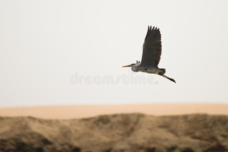 Grey heron. In flight, Walvis bay Namibia Africa royalty free stock photo