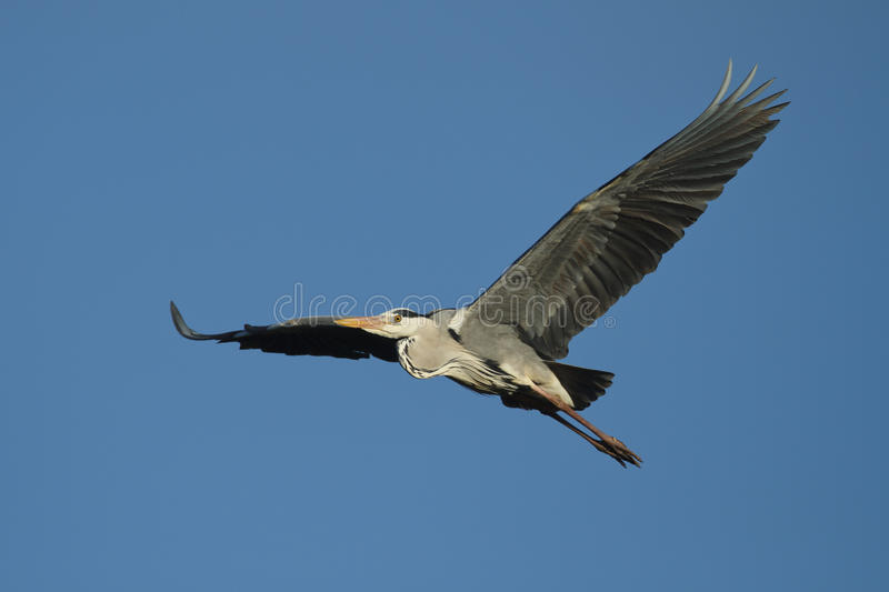 Download Grey Heron stock image. Image of grey, feathers, nature - 20786085