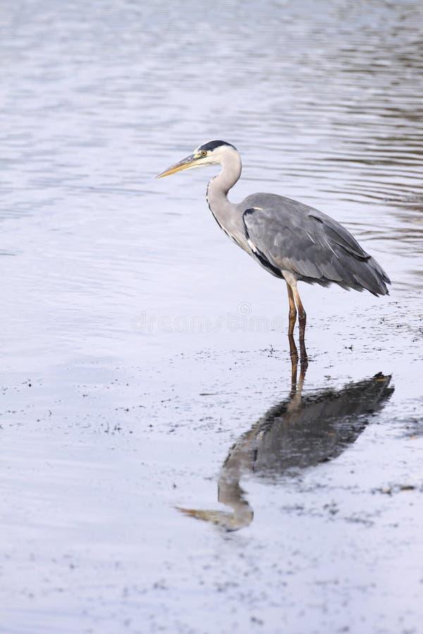 Download Grey Heron stock image. Image of heron, plumage, large - 22950123