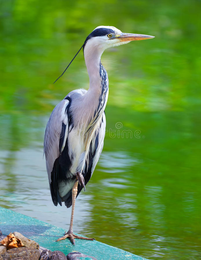 Free Grey Heron Royalty Free Stock Photo - 23660725