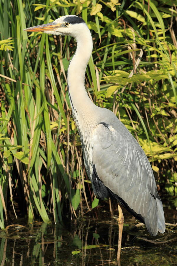 Download Grey Heron Royalty Free Stock Photography - Image: 25852177