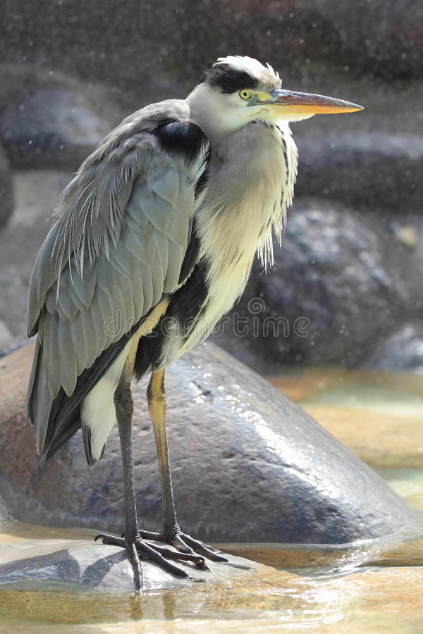 Grey heron. The grey heron in the rain royalty free stock images