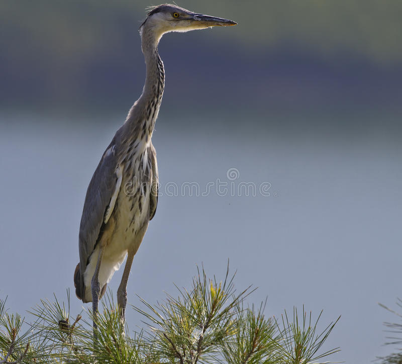 Grey Heron. At watch on top of a tree stock images
