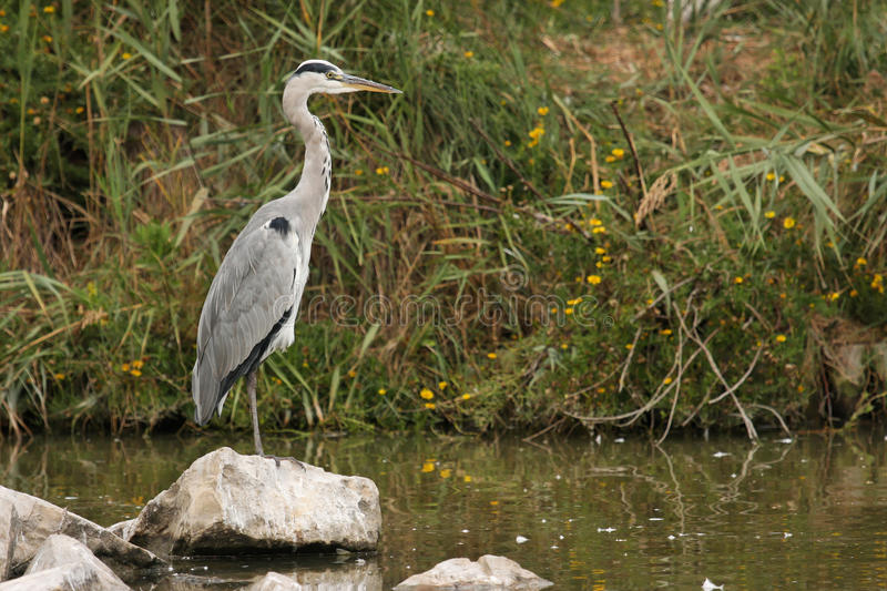 Download Grey Heron Royalty Free Stock Photos - Image: 27472008