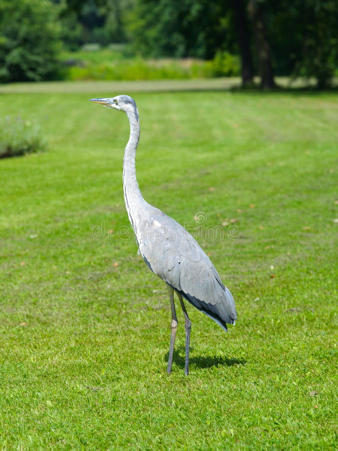 Grey Heron. In the park stock image