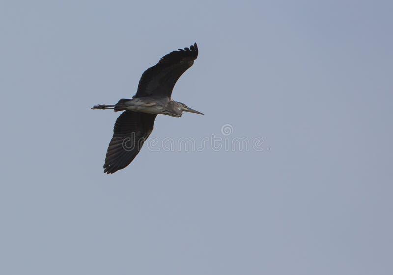 Download Grey Heron stock image. Image of details, grey, birds - 28026675