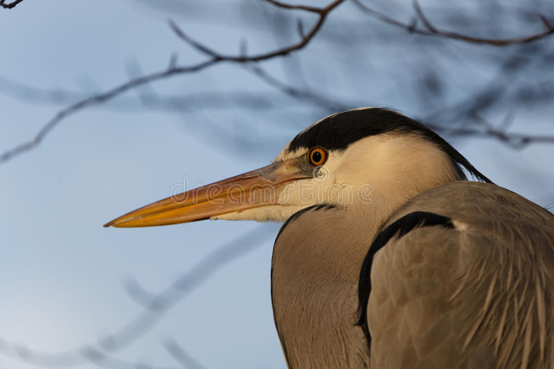 Grey Heron image stock