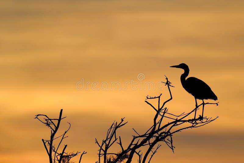 Grey Heron arkivfoton