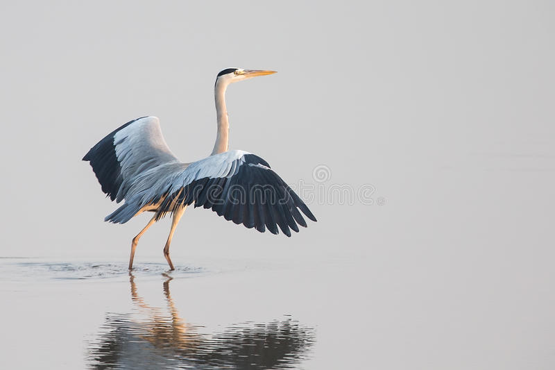 Grey Heron fotografía de archivo