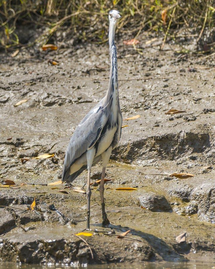 Grey Heron stock afbeeldingen