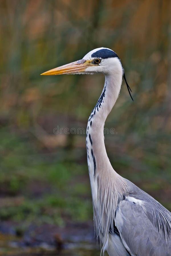 Grey heron stock photo