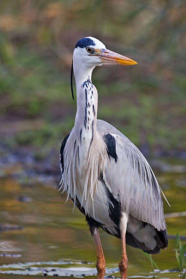Download Grey heron stock image. Image of nature, beak, avian, portrait - 8003377