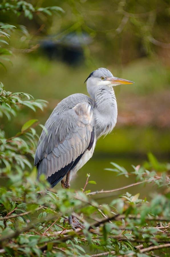 Grey Heron Free Public Domain Cc0 Image