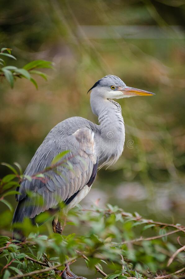 Grey heron stock images