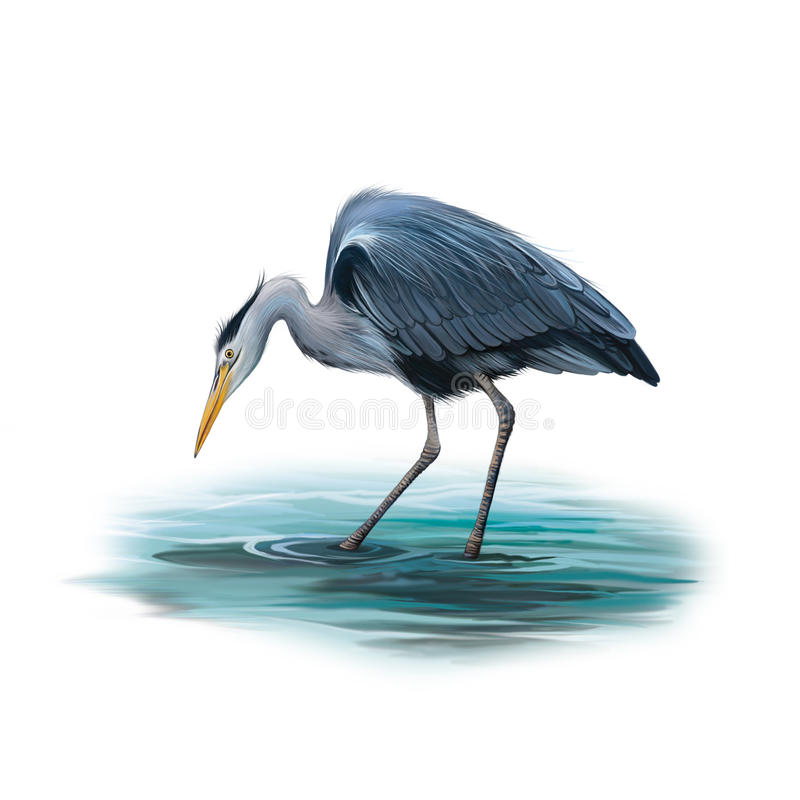 Grey Heron anseende i vatten, Cinerea Ardea stock illustrationer