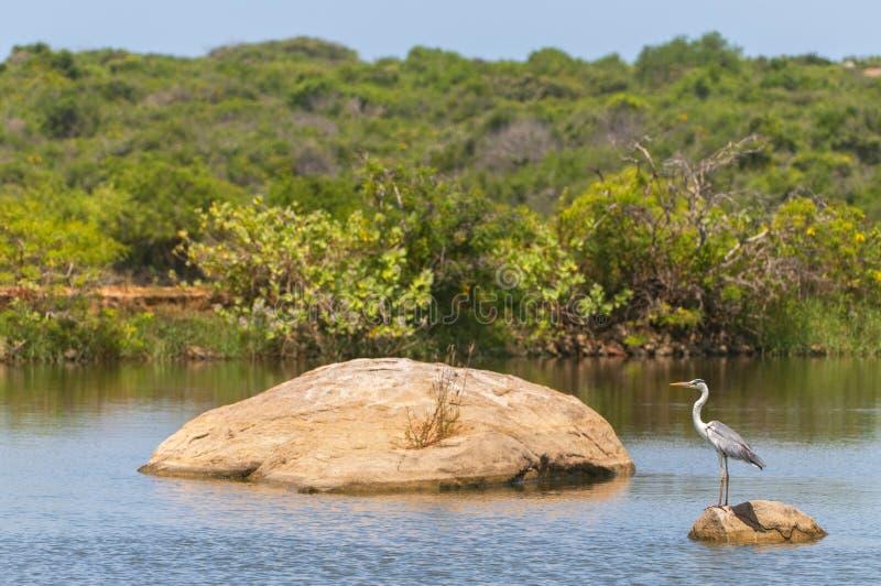 Grey heron Ardea cinarea, Yala National Park, Sri Lanka.  stock images
