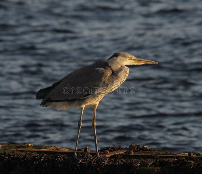 Grey Heron (Ardea Cinera) royalty free stock photography