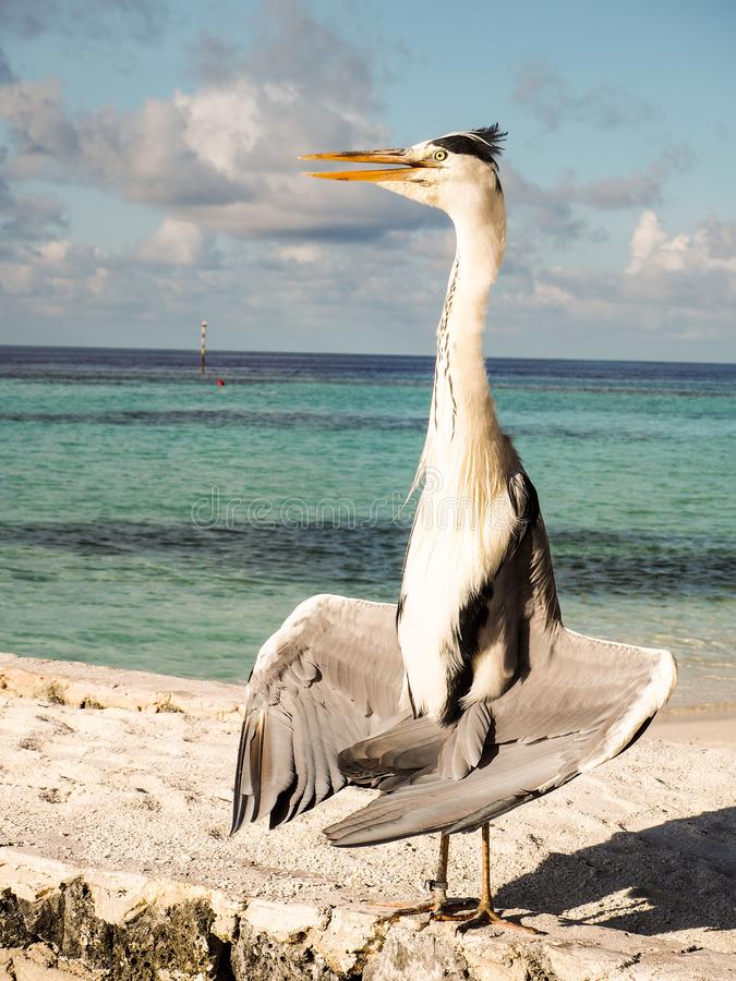 Grey Heron Ardea Cinera standing on a beach in the Maldives d. Rying his wings in the sun stock image