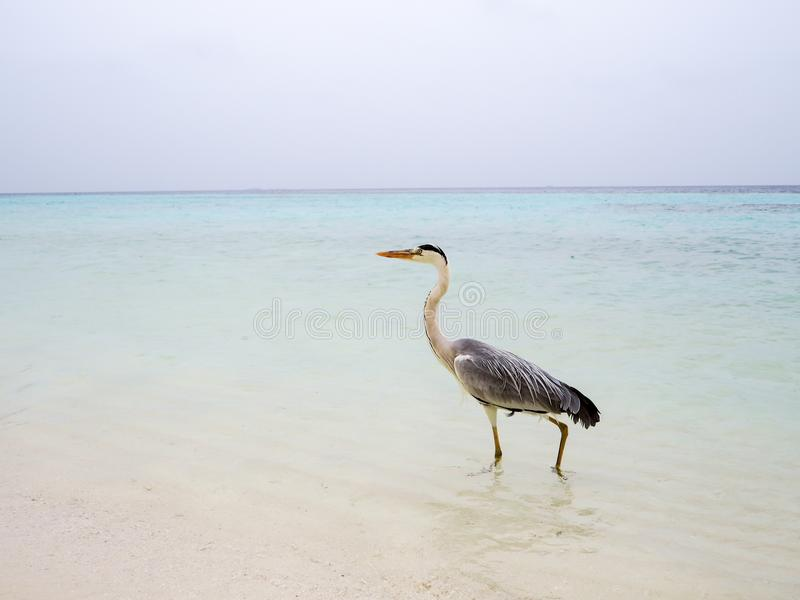 Grey Heron Ardea Cinera standing on a beach in the Maldives d. Rying his wings in the sun stock photos