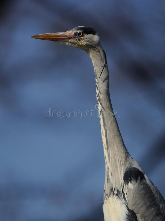 Grey Heron (Ardea Cinerea) royalty free stock image