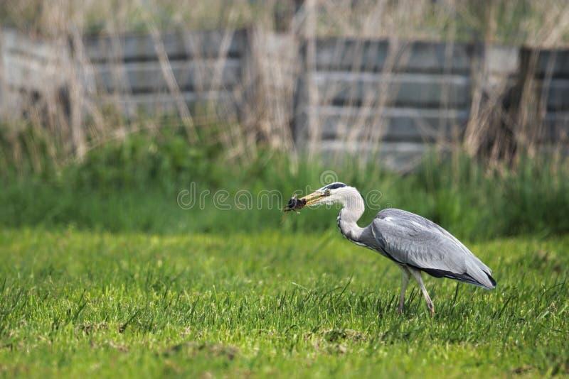 Grey Heron (ardea cinerea) fotografia stock