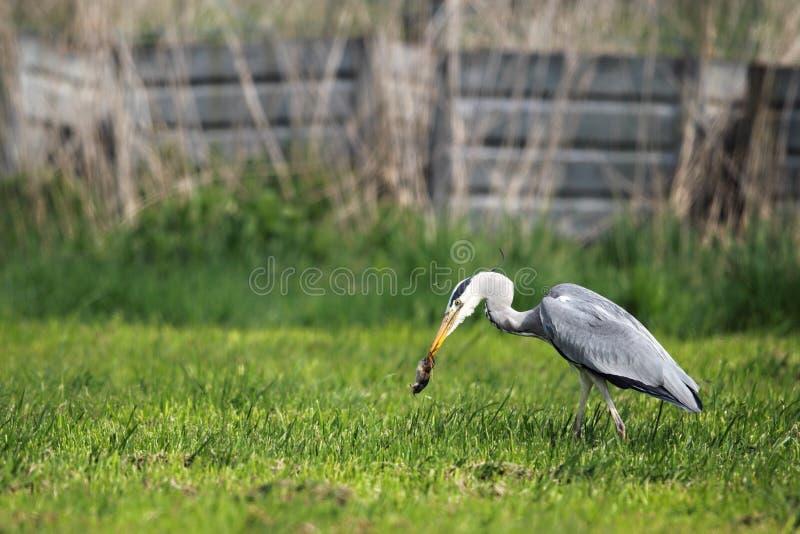 Grey Heron (ardea cinerea) fotografia stock libera da diritti
