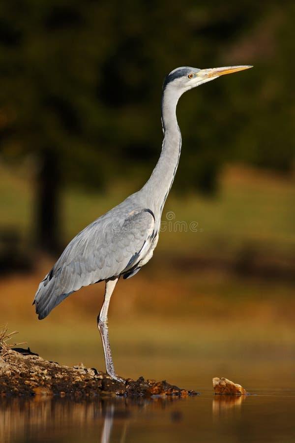 Grey Heron, ardea cinerea, in acqua, erba vaga nel fondo Airone nel lago della foresta Uccello nell'habitat della natura, cammina fotografia stock libera da diritti