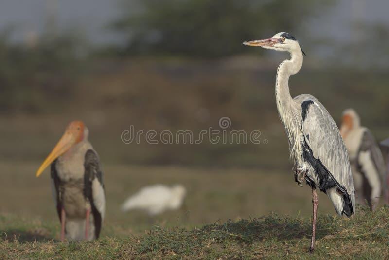 Grey Heron Ardea cinerea anseende på en bennärbild arkivbilder
