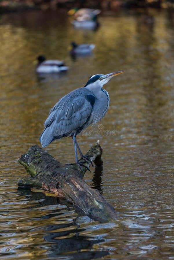 Grey heron , Ardea cinerea , Berkshire United Kingdom.  royalty free stock photography