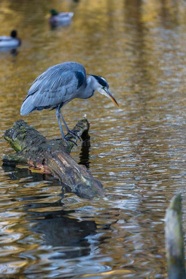 Grey heron , Ardea cinerea , Berkshire United Kingdom.  royalty free stock photos