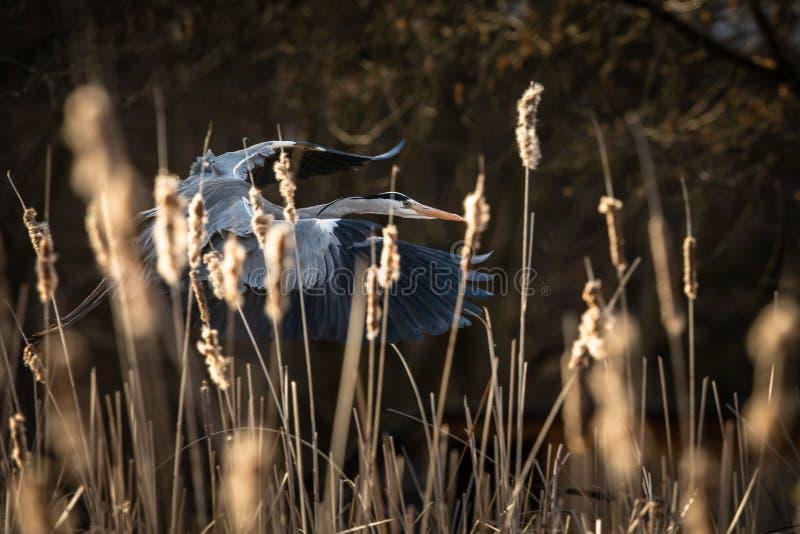 Grey Heron Ardea cinerea em voo na luz de nivelamento bonita fotos de stock