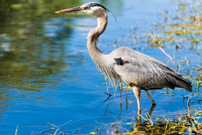 Grey Heron Ardea cinerea, Everglades-Nationalpark lizenzfreie stockfotografie