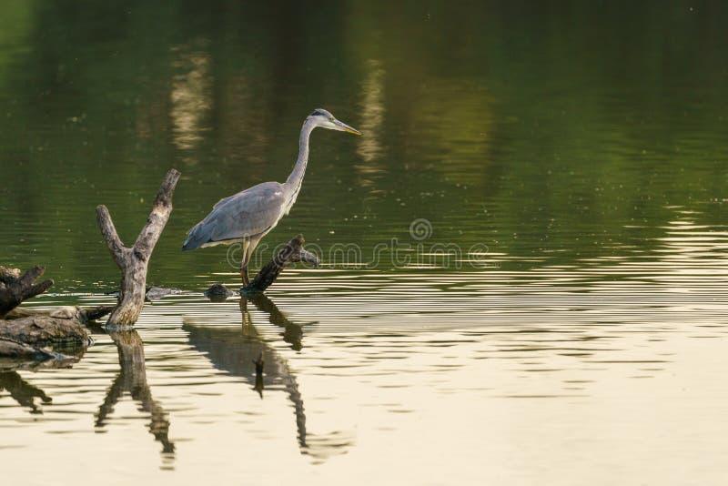 Grey Heron (Ardea cinerea), gevangen in het Verenigd Koninkrijk royalty-vrije stock afbeeldingen