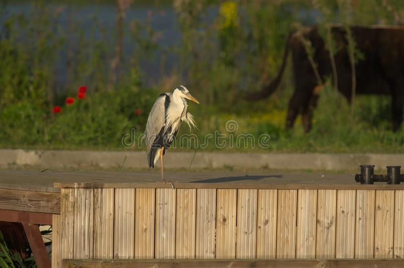 Grey Heron - Ardea cinerea. The Grey Heron Ardea cinerea, is a wading bird of the heron family Ardeidae, native throughout temperate Europe and Asia and also royalty free stock images