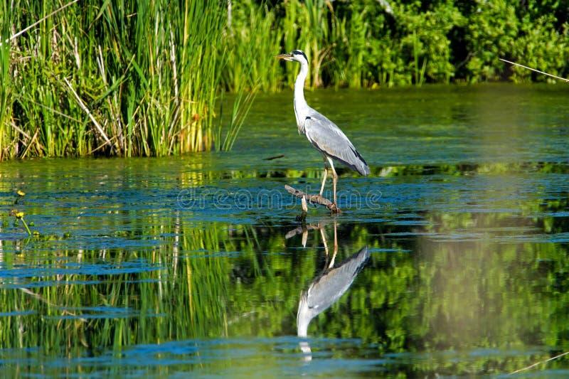 Grey Heron royalty free stock image