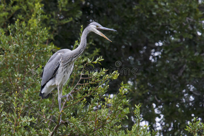 Grey Heron - Ardea cinerea royalty free stock photo