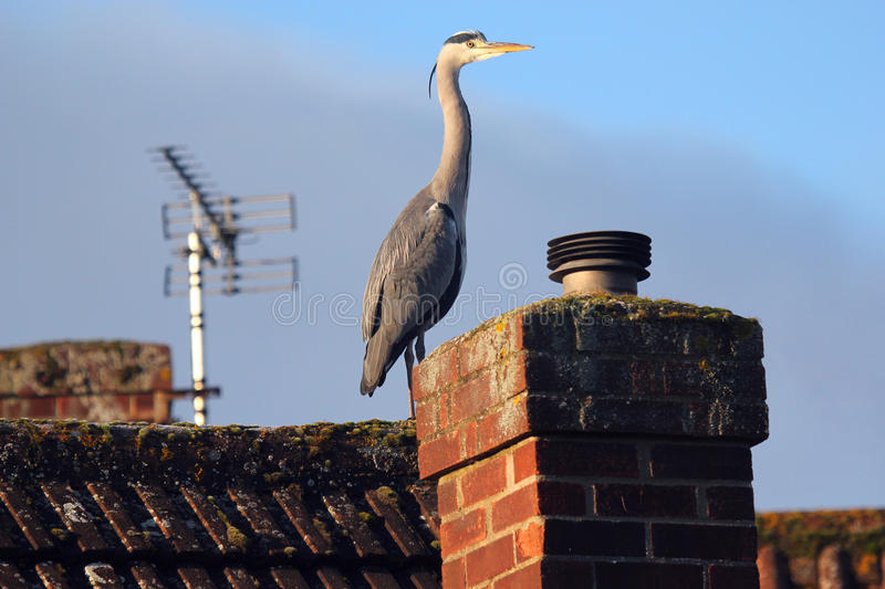 Grey Heron (Ardea cinerea) on the roof tops. stock photo