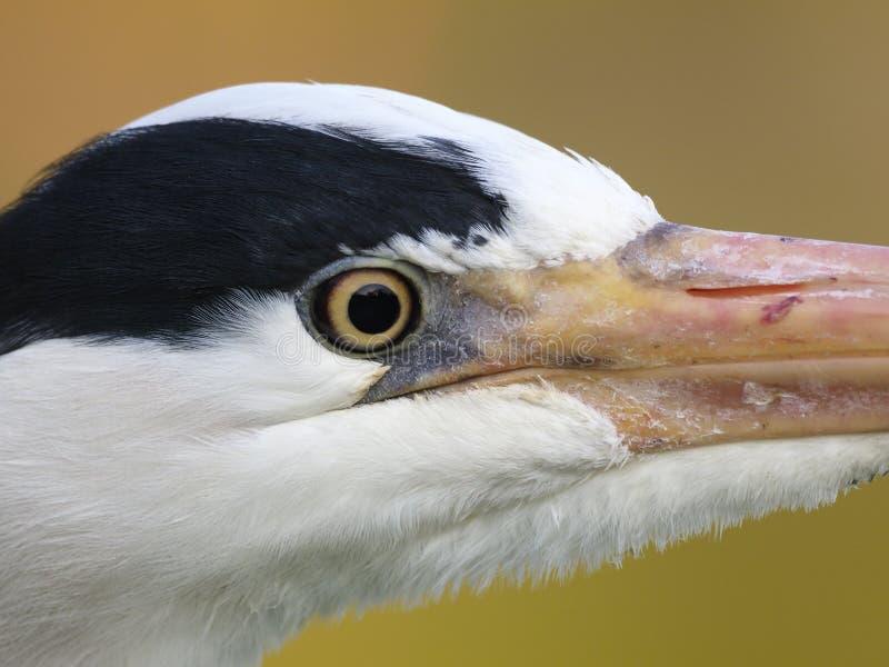 Grey heron. Ardea cinerea stock image