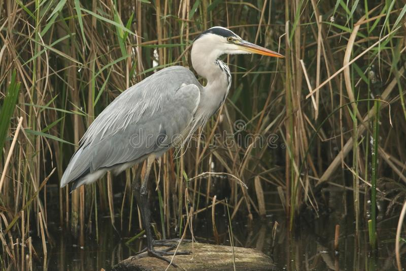 A Grey Heron Ardea cinerea standing on a log hunting in the reeds for fish. stock images