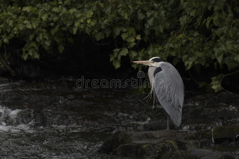 Grey heron, ardea cinerea, standing searching for food by a waterfall on river lossie in elgin, moray, scotland. Waterfall stock image