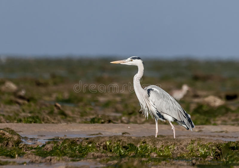 Grey Heron. The Grey Heron (Ardea cinerea), is a wading bird of the heron family Ardeidae, native throughout temperate Europe and Asia and also parts of Africa stock images