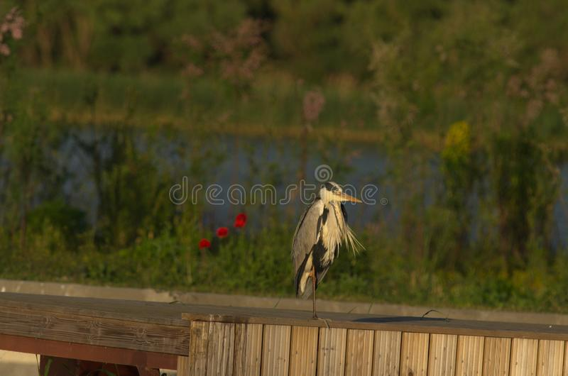 Grey Heron - Ardea cinerea. The Grey Heron Ardea cinerea, is a wading bird of the heron family Ardeidae, native throughout temperate Europe and Asia and also royalty free stock photography