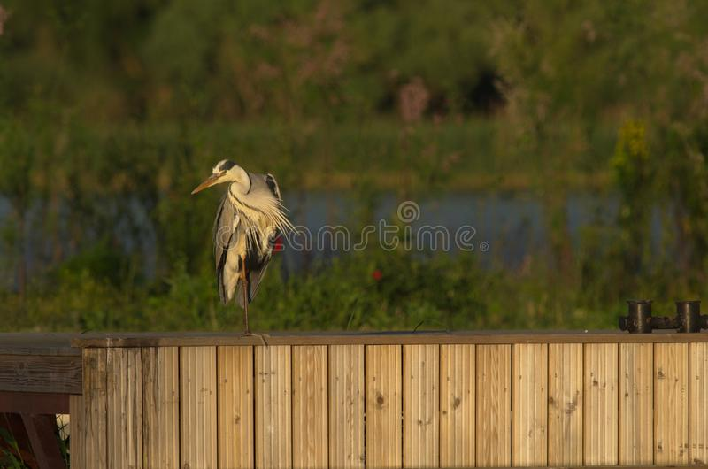 Grey Heron - Ardea cinerea. The Grey Heron Ardea cinerea, is a wading bird of the heron family Ardeidae, native throughout temperate Europe and Asia and also stock photo