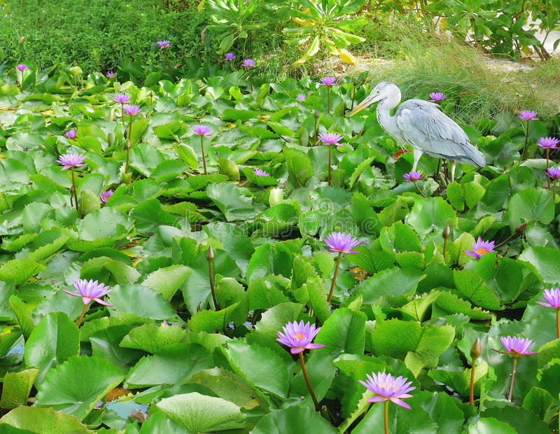 Grey heron or ardea cinerea waiting to catch fish in a lotus pond stock photo