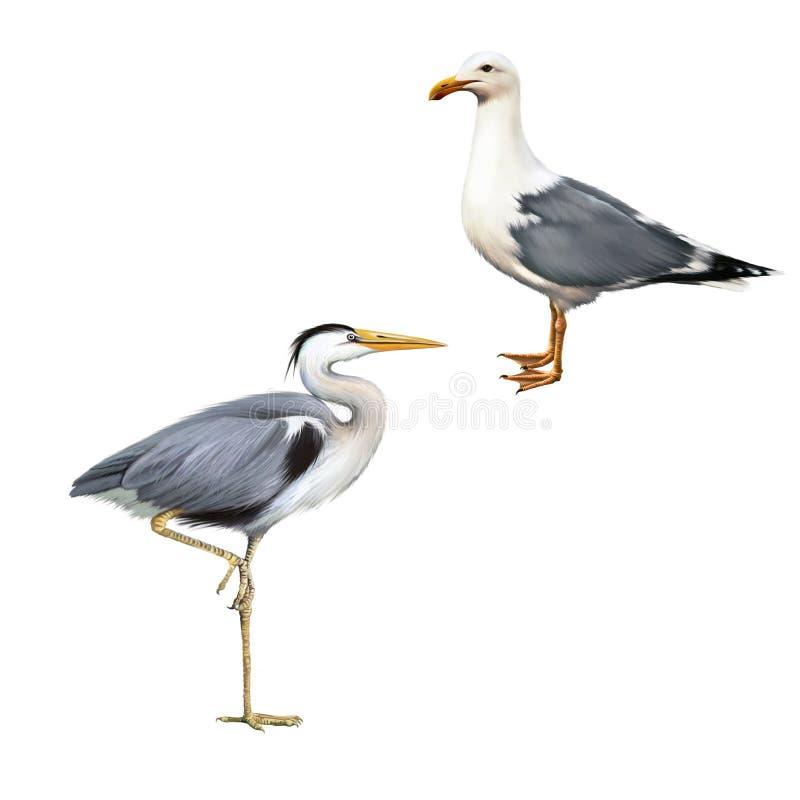 Grey Heron, Ardea Cinerea, white bird seagull. Grey Heron standing, Ardea Cinerea, white bird seagull isolated on white stock illustration