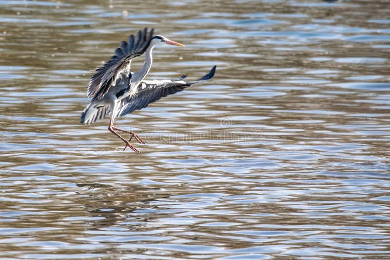 Grey heron Ardea cinerea wild bird coming into land on water. In late winter early spring royalty free stock image