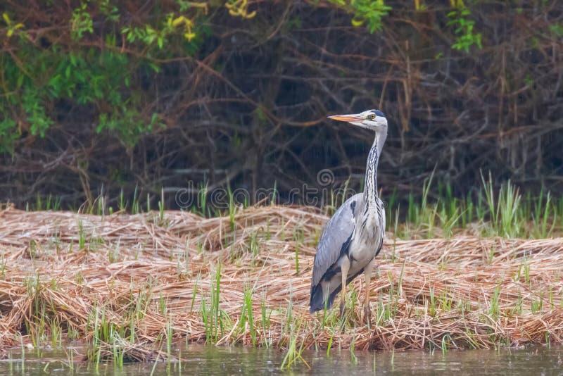 Grey Heron Ardea de chasse Grey Heron Waters Edge cinerea photos stock