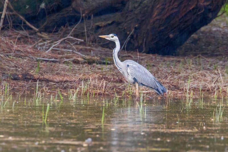 Grey Heron Ardea de chasse Grey Heron Waters Edge cinerea images stock